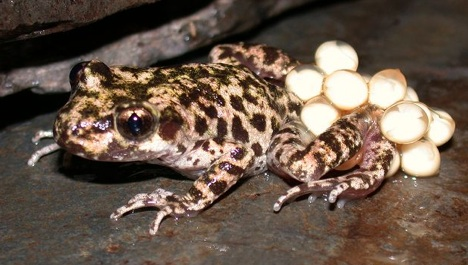 mallorcan-midwife-toad