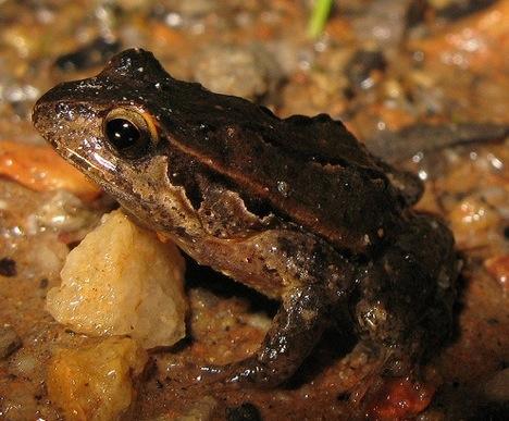 quacking-frog