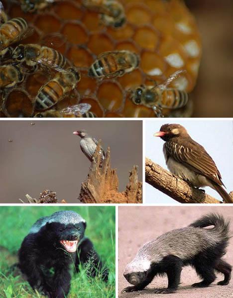 honeyguide-ratel-bees-symbiosis