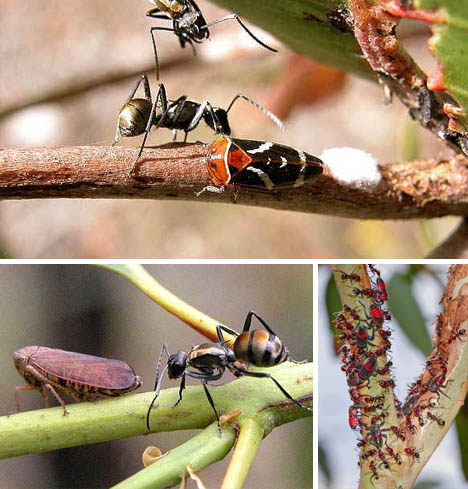 leafhopper-and-meat-ant-symbiosis
