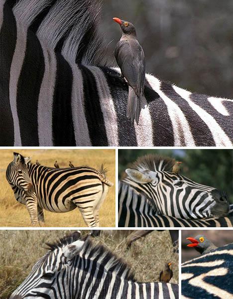 zebra-oxpecker-symbiosis