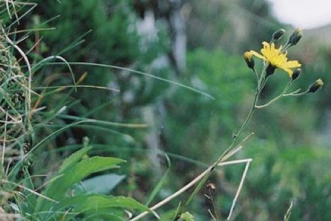 snowdonia-hawkweed