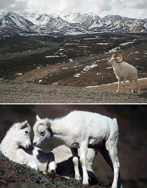 arctic-animals-dall-sheep-1