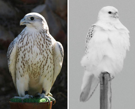 arctic-animals-gyrfalcon-2