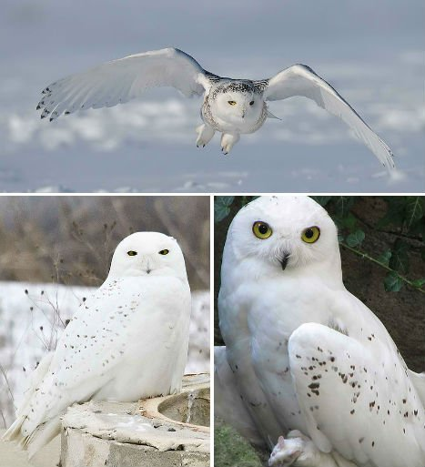 arctic-animals-snowy-owl-1
