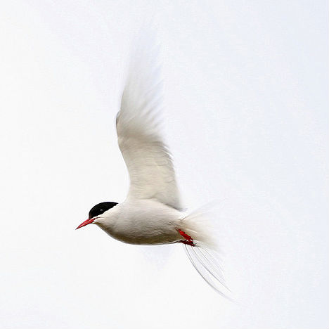 arctic-animals-tern-2