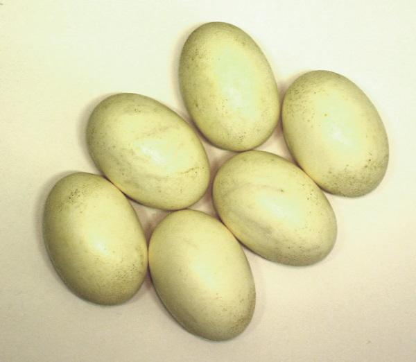 It's No Yolk: 7 Amazing Edible Non-Chicken Eggs