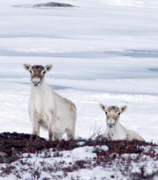 Antler Management: 7 Amazing Reindeer Subspecies