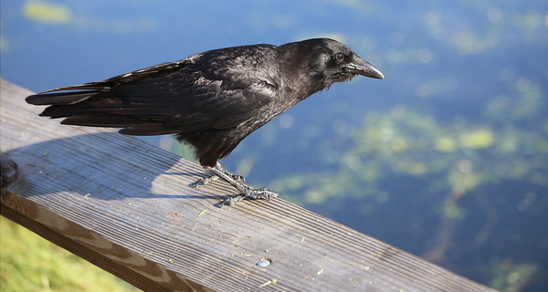Hi High Blackbirds: The World's 7 Most Amazing Crows