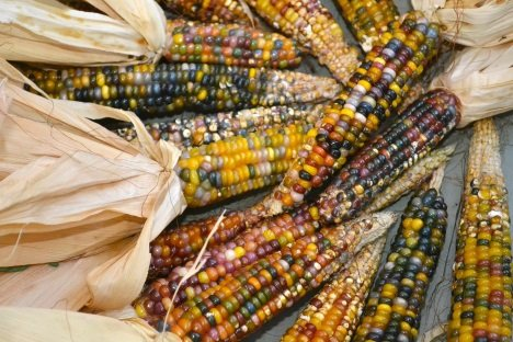 Oh My Cob! 7 Amazing Colorful Corn Varieties