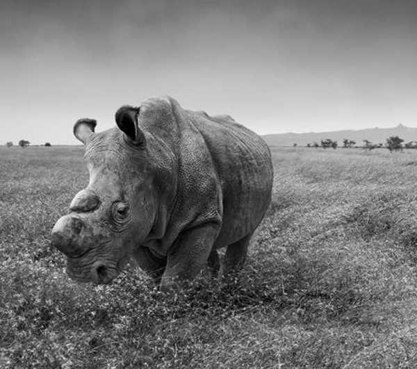 Last White Rhino 7