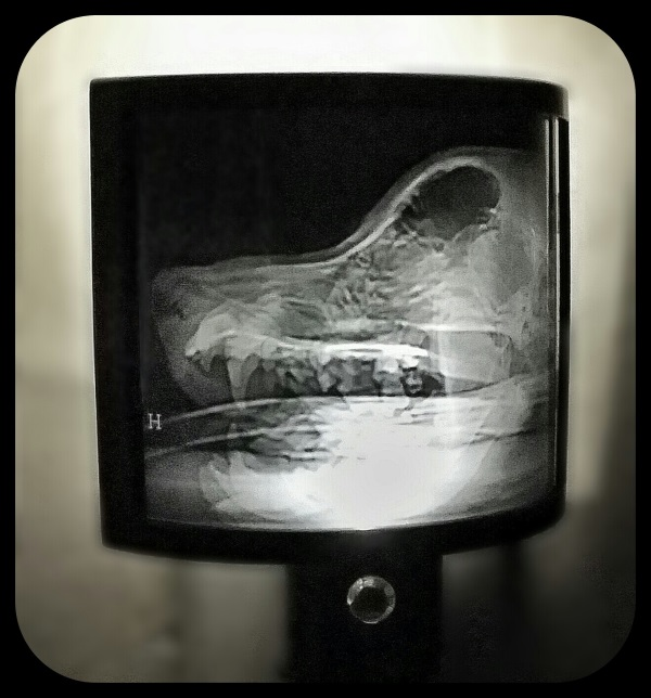 Animal X-Ray Lampshades 2