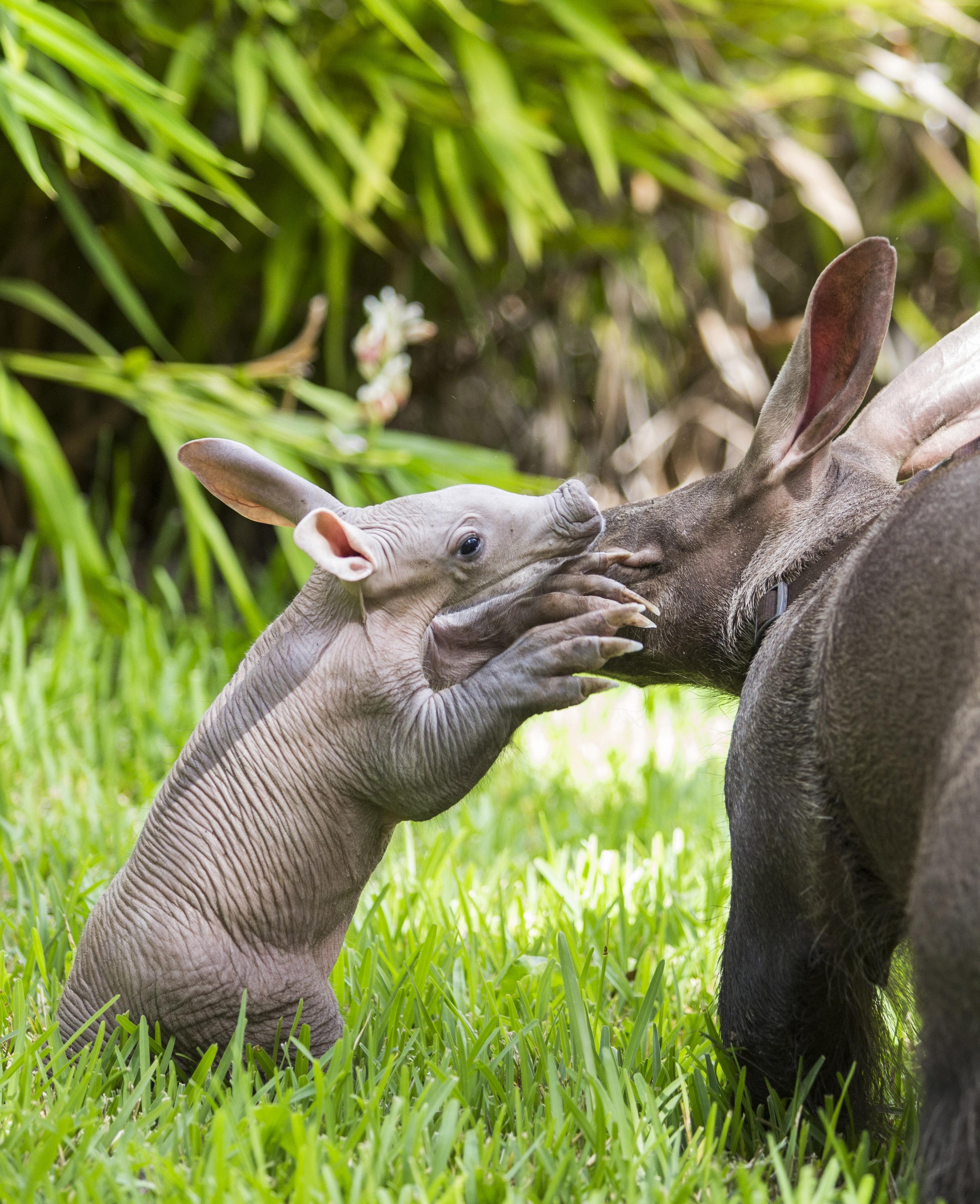 Aardvark Born at Busch Gardens Tampa
