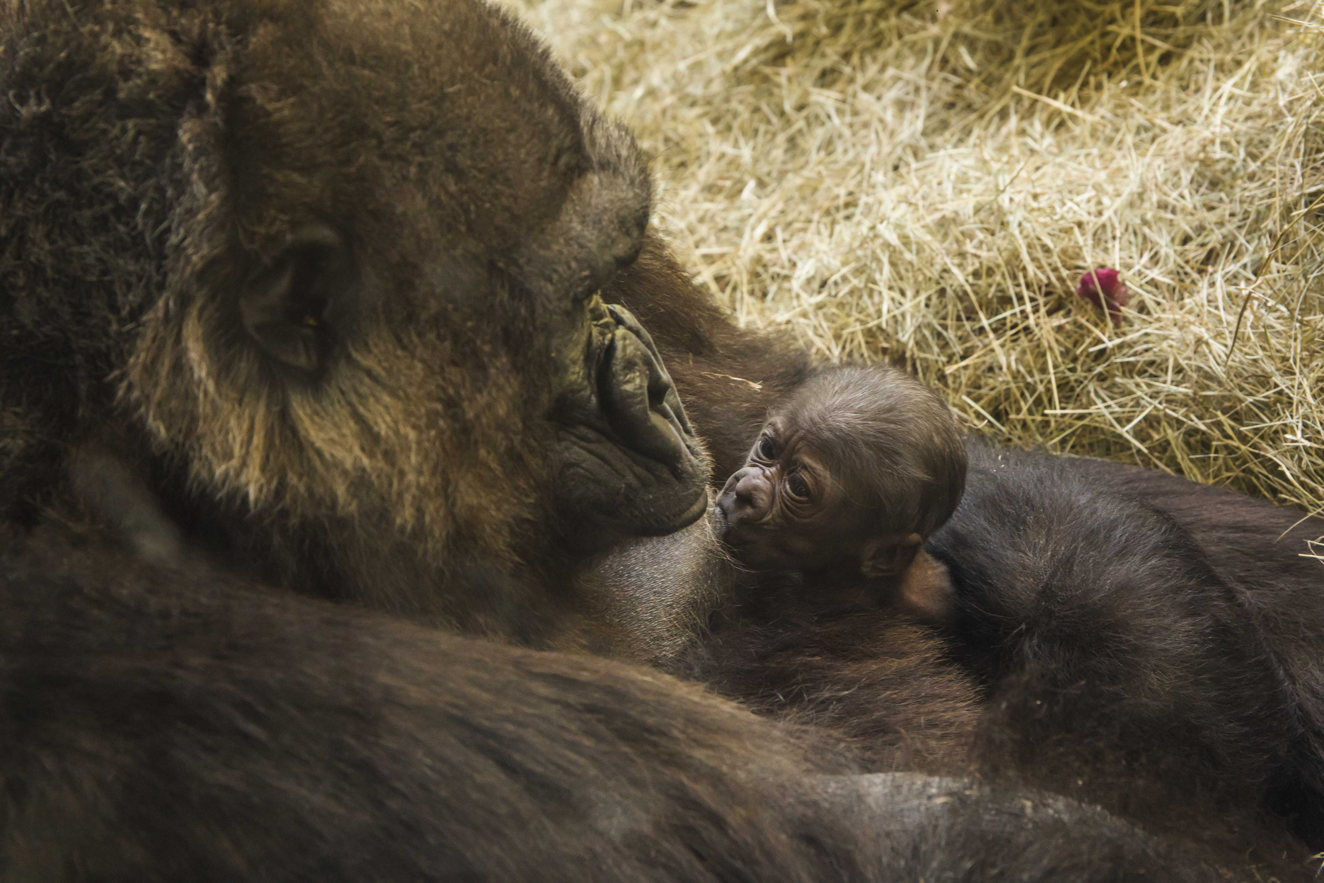 Endangered baby gorilla born at Busch Gardens