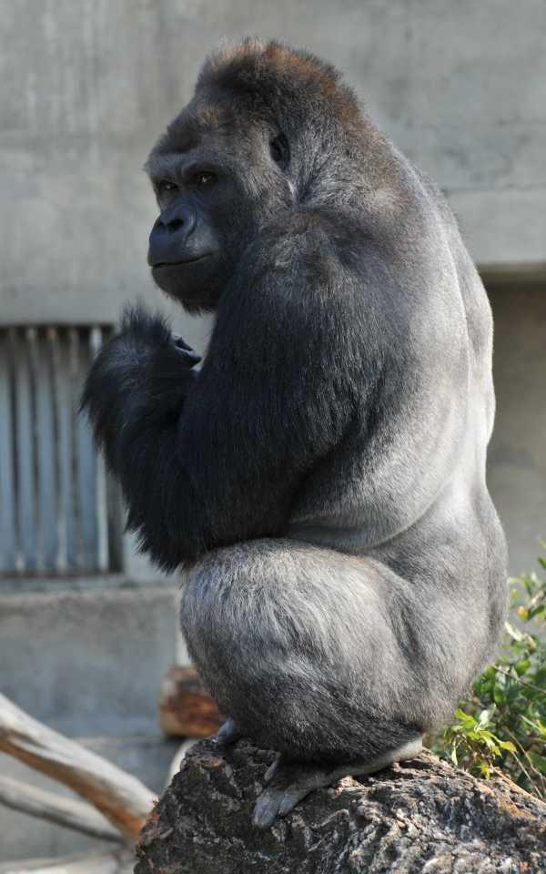 handsome-gorilla-2