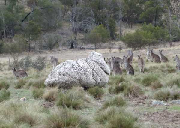 chris-the-sheep-1