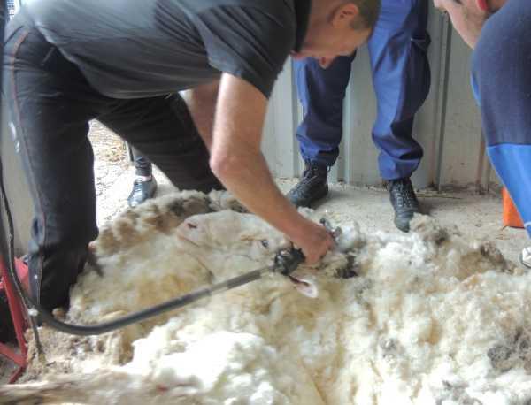 chris-the-sheep-9