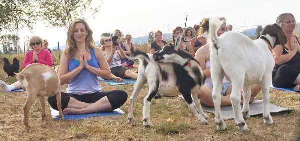 goat-yoga-7