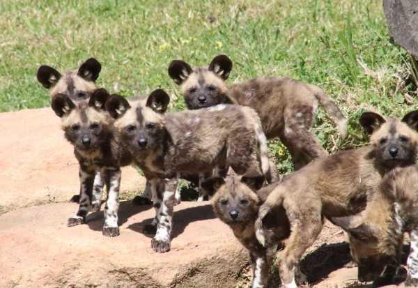 wild-dog-pups-1