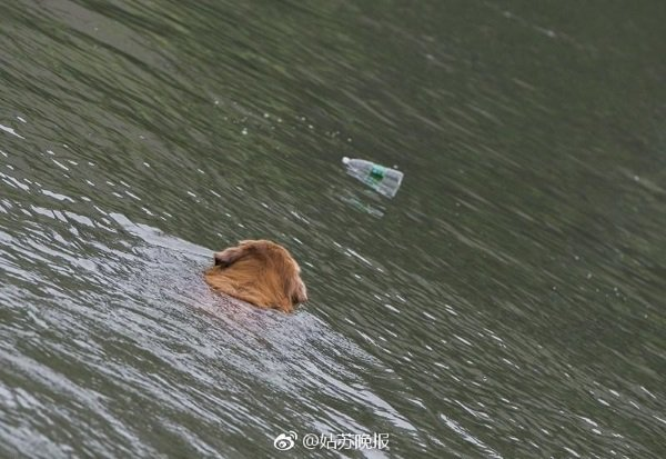 china-golden-retriever-cleans-river-3