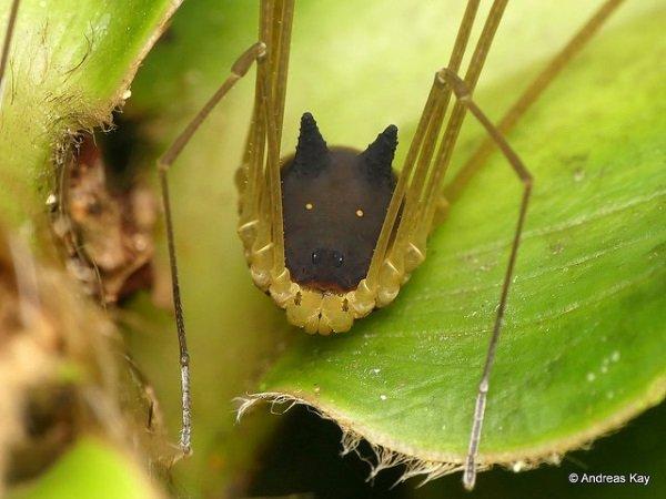 Hedge Dog: Creepy Cute 'Bunny Harvestman' Spider