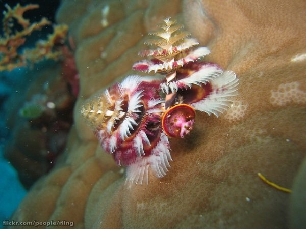 Sea -sonal Shrubbery: 7 Amazing Christmas Tree Worms