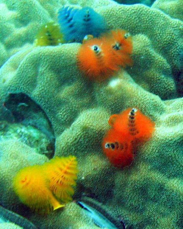 Sea -sonal Shrubbery: 7 Amazing Christmas Tree Worms