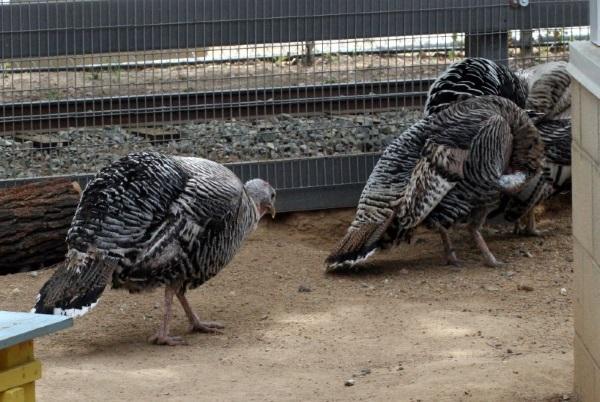 Great Old Gobblers: 8 Amazing Heritage Turkeys