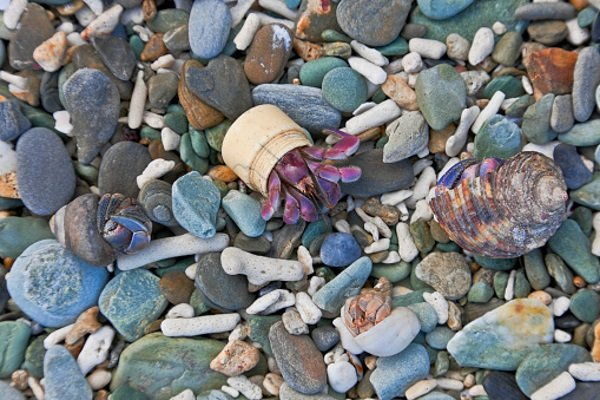 Go-To Shell: 7 Amazingly Resourceful Hermit Crabs