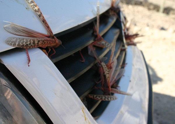 Hen Pecked: Loathsome Locusts Make Fine Fowl Feed