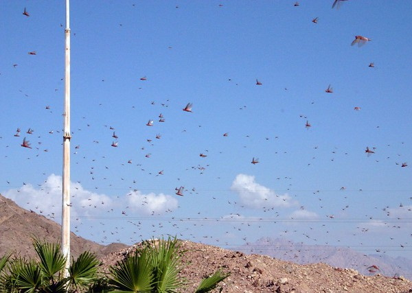 Hen Pecked: Loathsome Locusts Make Fine Fowl Feed